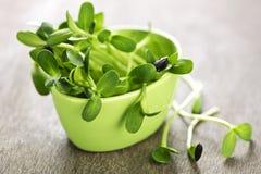 Pousses vertes de tournesol dans une cuvette photographie stock