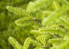 Pousses vertes fraîches de sapin Jeunes pousses des arbres impeccables au printemps Photo stock