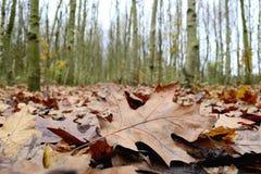 Poussez des feuilles avec la rangée des arbres de cendre argentée à l'arrière-plan Photographie stock
