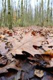 Poussez des feuilles avec la rangée des arbres de cendre argentée à l'arrière-plan Image libre de droits