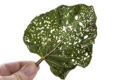 Poussez des feuilles avec des trous, mangés par des parasites d'isolement sur le fond blanc photographie stock libre de droits