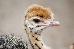 Poussin d'autruche de bébé avec les taches distinctives Tête en gros plan photo stock