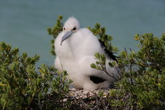 Poussin d'oiseau de frégate Photographie stock libre de droits