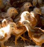 Poussin dans la cage de ferme Photo stock
