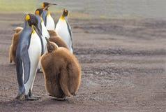 Poussin de alimentation du Roi Penguin (patagonicus d'Aptenodytes) Image stock