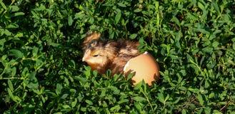 Poussin de bébé avec la coquille d'oeuf cassée et oeuf dans l'herbe verte Photos stock