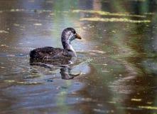 Poussin de bébé de poule d'eau Photographie stock libre de droits