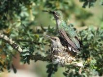 Poussin de colibri de mère et de bébé dans un nid Image stock