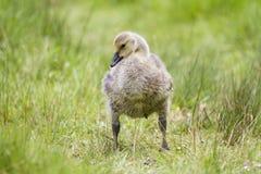 Poussin de Gosling d'oie de Canada sur l'herbe Images libres de droits
