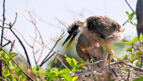 Poussin de héron de grand bleu dans le nid Photo stock