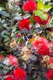 Poussin de Honeyeater se cachant dans le feuillage Images stock