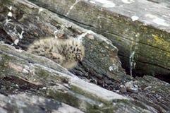Poussin de mouette sur la jetée squelettique, Busselton, WA, Australie photographie stock libre de droits