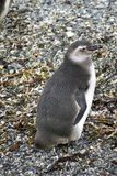 Poussin de pingouin de Magellanic sur une île rocheuse près d'Ushuaia, Argentine Photos stock