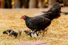 Poussin de poule s'élevant dans la scène rurale d'environnement naturel Photo libre de droits