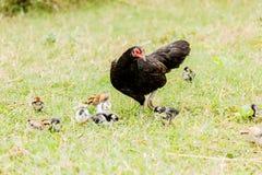 Poussin de poule s'élevant dans la scène rurale d'environnement naturel Photos libres de droits
