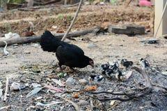 Poussin de poule s'élevant dans le naturel Photographie stock libre de droits