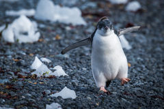 Poussin drôle de pingouin d'adelie fonctionnant sur des pierres Images libres de droits