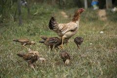 Poussin et poule sur le champ d'herbe photo stock