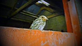 Poussin Irlande de FLYCATCHER rep?r? image stock