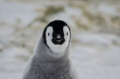 Poussin loooking mauvais de pingouin d'empereur Photos libres de droits