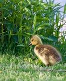 Poussin mignon devant l'herbe grande Image libre de droits