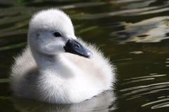 Poussin pelucheux de cygne de bébé image libre de droits