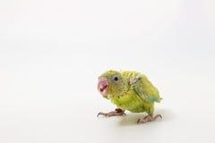 Poussin vert en pastel d'oiseau de Forpus Photographie stock