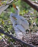 Poussins blancs de héron dans le nid photographie stock