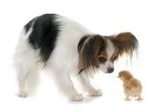 Poussins d'ancd de chien de Papillon Photo libre de droits