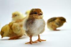 Poussins d'isolement sur de petits poulets de fond blanc photos stock