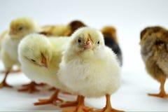 Poussins d'isolement sur de petits poulets de fond blanc photographie stock