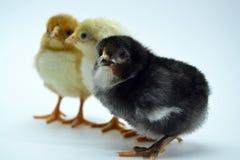 Poussins d'isolement sur de petits poulets de fond blanc image stock