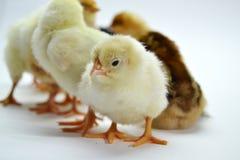 Poussins d'isolement sur de petits poulets de fond blanc photo stock