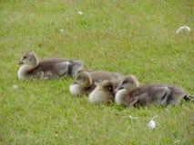Poussins d'oie de Graylag Photographie stock libre de droits