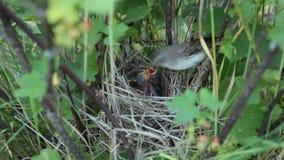Poussins d'oiseaux d'emboîtement dans le nid banque de vidéos