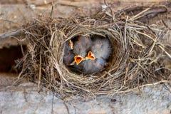 Poussins dans le nid demandant la nourriture oiseaux faune images libres de droits