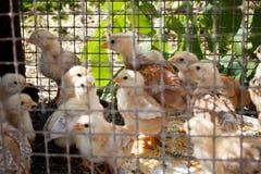 Poussins dans une cage Photos stock