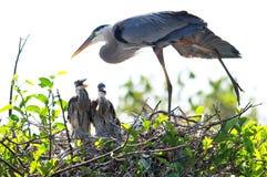 Poussins de étirage et deux de héron de grand bleu dans le nid Photos stock