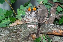 Poussins de alimentation repérés de FLYCATCHER dans le nid photographie stock libre de droits