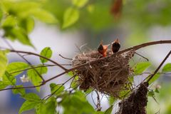 Poussins de Bulbul dans le nid Images libres de droits