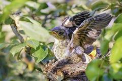 Poussins de grive se reposant dans le nid Image libre de droits