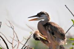 Poussins de héron de grand bleu dans le nid Image libre de droits