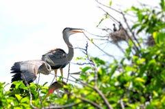 Poussins de héron de grand bleu se tenant dans le nid Photos libres de droits