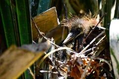 Poussins de héron de grand bleu dans un nid Photo stock