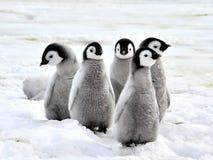 Poussins de pingouin d'empereur Photos libres de droits
