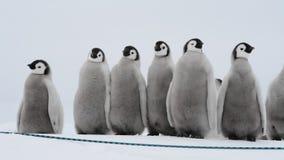 Poussins de pingouin d'empereur, forsteri d'Aptenodytes, sur la glace banque de vidéos