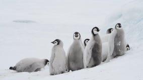 Poussins de pingouin d'empereur sur la glace clips vidéos