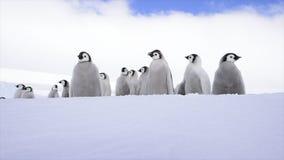 Poussins de pingouin d'empereur sur la glace banque de vidéos