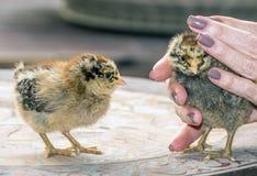 Poussins, jeunes poulets images libres de droits