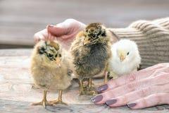 Poussins, jeunes poulets photographie stock